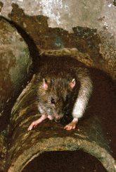 Ratte auf Kanalisationsrohr