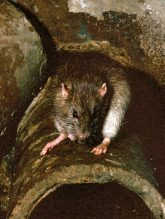 Rattte in einer defekten Abwasserleitung