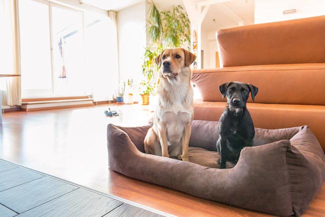 Zwei Hunde im Hundekorb im Wohnzimmer