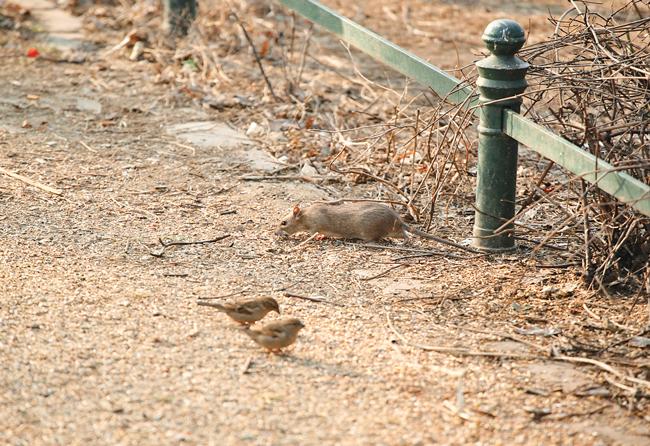 Ratte und Spatzen auf einem Parkweg