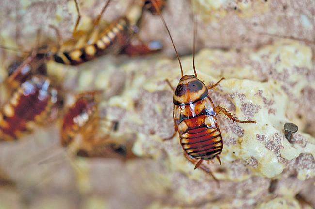 Schädlinge erkennen und gezielt bekämpfen ist Sache des Fachmanns: Bettwanze