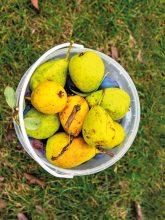 Geerntetes Obst