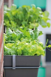 Salatpflanzen im Balkonkasten
