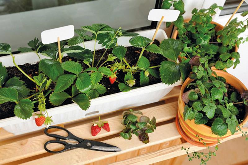 Erdbeerpflanzen im Balkonkasten